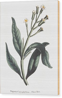 Clove Eugenia Aromatica Wood Print by Anonymous