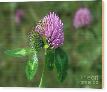 Clover - Wildflower Wood Print by Henry Kowalski