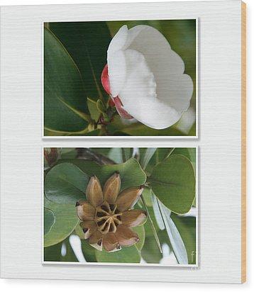 Clusia Rosea - Clusia Major - Autograph Tree - Maui Hawaii Wood Print by Sharon Mau