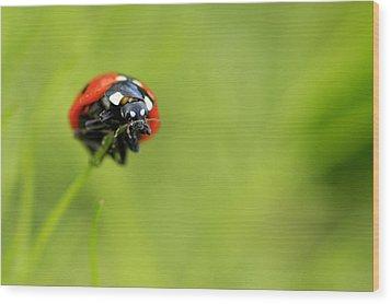Coccinellidae  Wood Print