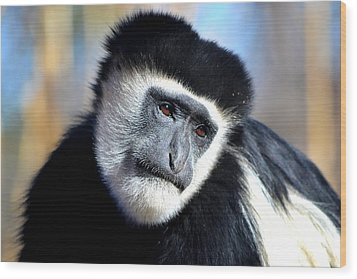 Colobus Contemplation Wood Print by Deena Stoddard
