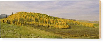 Colorado Aspens Wood Print by Brian Harig