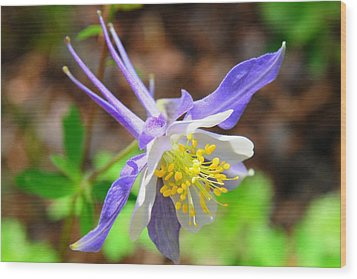 Colorado Blue Columbine Flower Wood Print