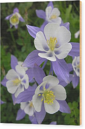 Colorado Blue Columbines Wood Print