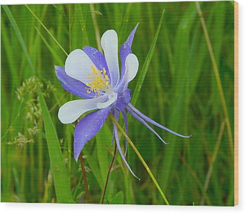 Colorado Columbine Wood Print by Dan Miller