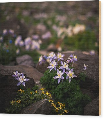 Colorado Columbine Glamour Shot Wood Print by Mike Berenson