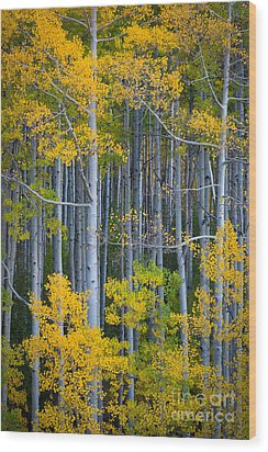 Colorado Fall Color Wood Print by Inge Johnsson