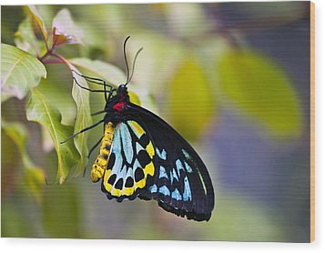 colorful butterfly Ornithoptera priamus Wood Print