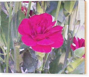 Colorful Carnation Wood Print by Belinda Lee