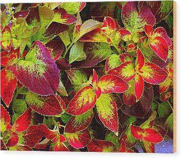 'colorful Coleus' Wood Print