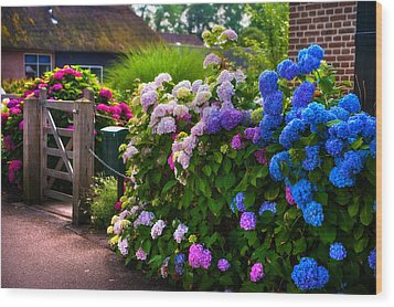 Colorful Hydrangea At The Gate. Giethoorn. Netherlands Wood Print by Jenny Rainbow