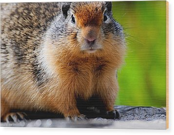 Columbian Ground Squirrel Wood Print by Bonnie Fink