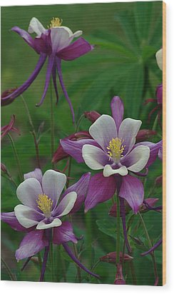 Wood Print featuring the photograph Columbines by Ken Dietz