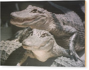 Wood Print featuring the photograph Florida Alligators Come Closer by Belinda Lee