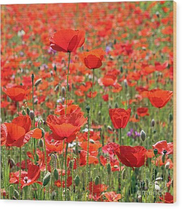Commemorative Poppies Wood Print