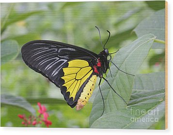 Wood Print featuring the photograph Common Birdwing Butterfly by Judy Whitton