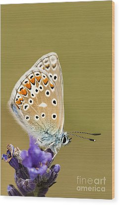 Common Blue Wood Print by Anne Gilbert