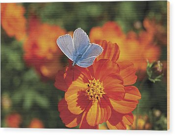 Wood Print featuring the photograph Common Blue Butterfly by Lana Enderle