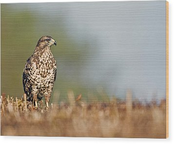 Wood Print featuring the photograph Common Buzzard by Paul Scoullar