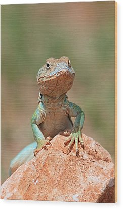 Wood Print featuring the photograph Common Collared Lizard 2 by Elizabeth Budd