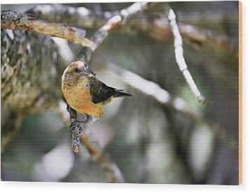 Common Crossbill Female Wood Print by Dr P. Marazzi