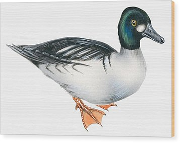 Common Goldeneye  Wood Print by Anonymous