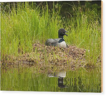 Wood Print featuring the photograph Common Loon Nesting by Brenda Jacobs
