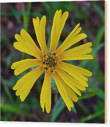 Common Madia In Park Sierra-ca Wood Print by Ruth Hager