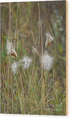 Common Milkweed Wood Print by Linda Freshwaters Arndt