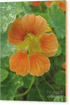 Common Nasturtium Wood Print by Sara  Raber