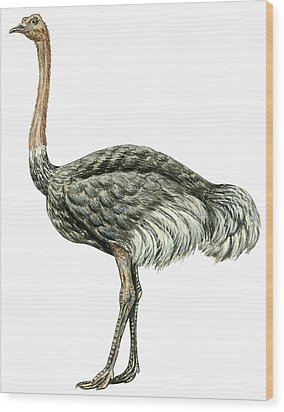 Common Ostrich Wood Print by Anonymous