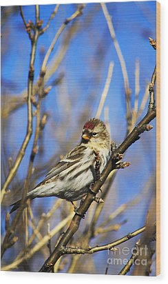 Common Redpoll Female Wood Print by Alyce Taylor