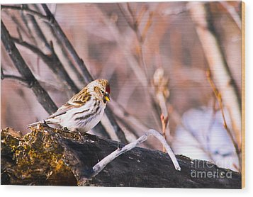Common Redpoll Female Wood Print by Chris Heitstuman