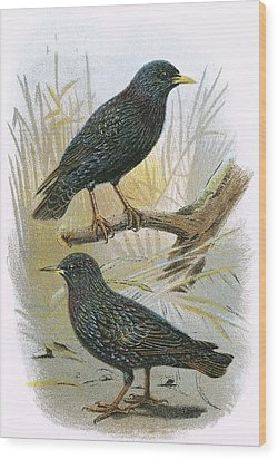 Common Starling Top And Intermediate Starling Bottom Wood Print