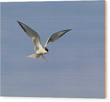Common Tern Hovering Wood Print by Tony Beck
