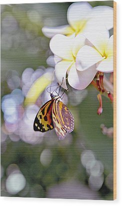 Common Tiger Glassywing Butterfly On Plumeria Bloom Wood Print