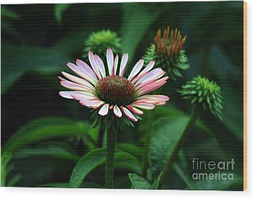 Wood Print featuring the photograph Coneflower 2014 by Marjorie Imbeau