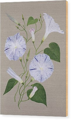 Convolvulus Cneorum Wood Print by Frances Buckland