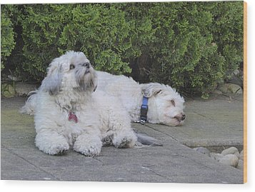 Wood Print featuring the photograph Havanese Dog Sisters B by Laurie Tsemak