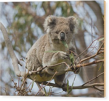 Cool Koala Wood Print by Phil Stone