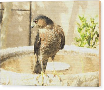 Cooper's Hawk At The Birdbath Wood Print