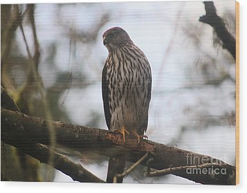 Cooper's  Hawk Dines Here Wood Print by Kym Backland