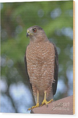 Wood Print featuring the photograph Cooper's Hawk I by Suzette Kallen