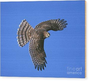 Coopers Hawk Wood Print by Jim Zipp
