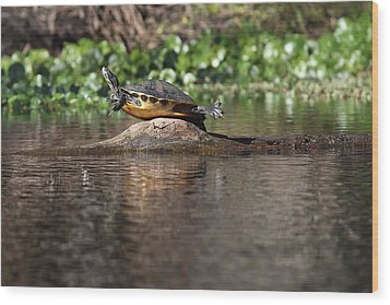 Cooter On Alligator Log Wood Print by Paul Rebmann