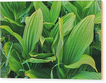 Corn Lilies Glacier National Park Wood Print by Rich Franco