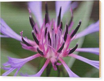 Cornflower Bloom Wood Print by Mark Severn