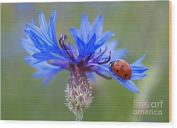 Wood Print featuring the photograph Cornflower Ladybug Siebenpunkt Blue Red Flower by Paul Fearn