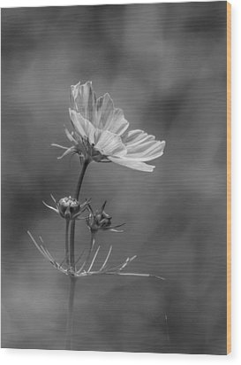 Wood Print featuring the photograph Cosmo Flower Reaching For The Sun by Debbie Green