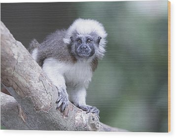Wood Print featuring the photograph Cotton Top Tamarin  by Shoal Hollingsworth